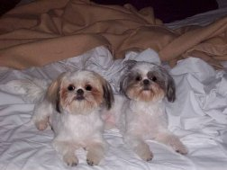 Photo of Shih Tzu dogs