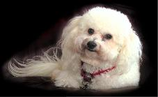 Photo of Bichon Dog